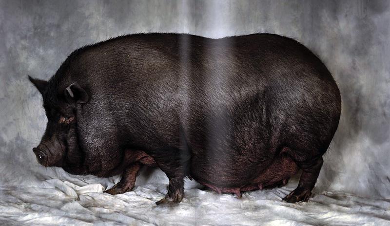 Persönliches Schwein, viel Schwein und schöne Schweine