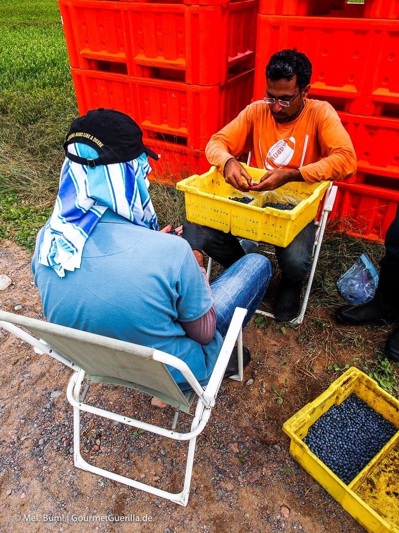 Kanada Nova Scotia Forschungsprojekt für Wilde Blaubeeren |GourmetGuerilla.de