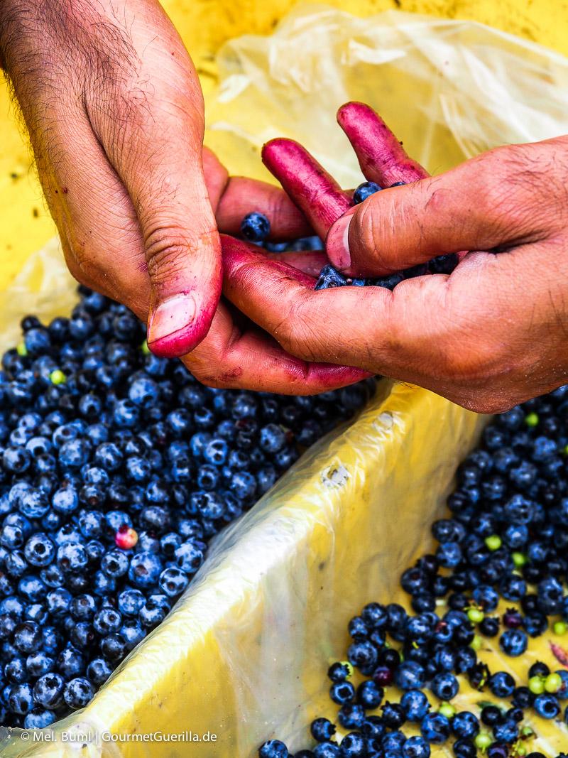 Kanada Nova Scotia Pflücken und Sortieren von Wilden Blaubeeren |GourmetGuerilla.de