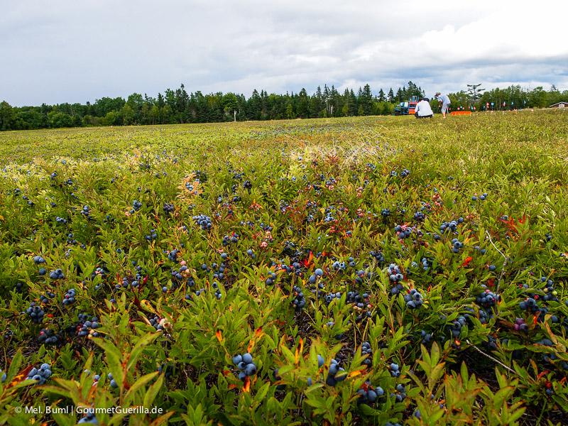 Kanada Nova Scotia Feld mit Wilden Blaubeeren |GourmetGuerilla.de