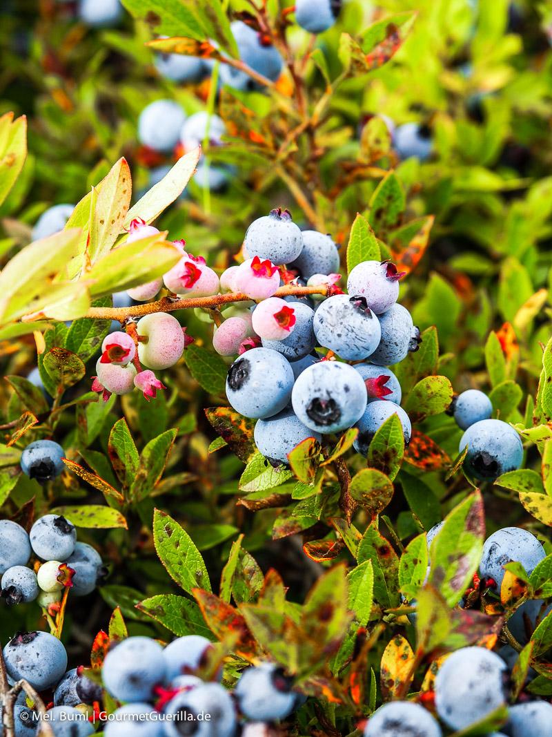 Kanada Nova Scotia mitten im Feld mit Wilden Blaubeeren |GourmetGuerilla.de