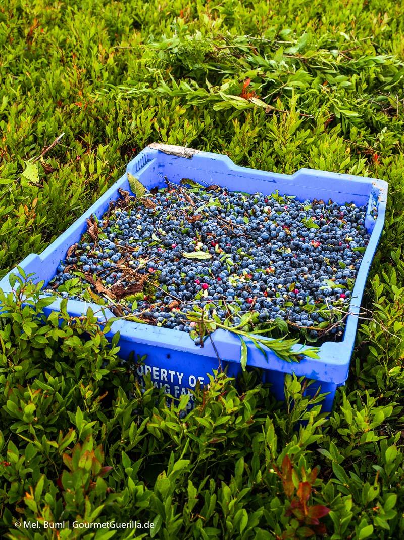 Kanada Nova Scotia auf dem Feld mit frisch gepflückten Wilden Blaubeeren |GourmetGuerilla.de
