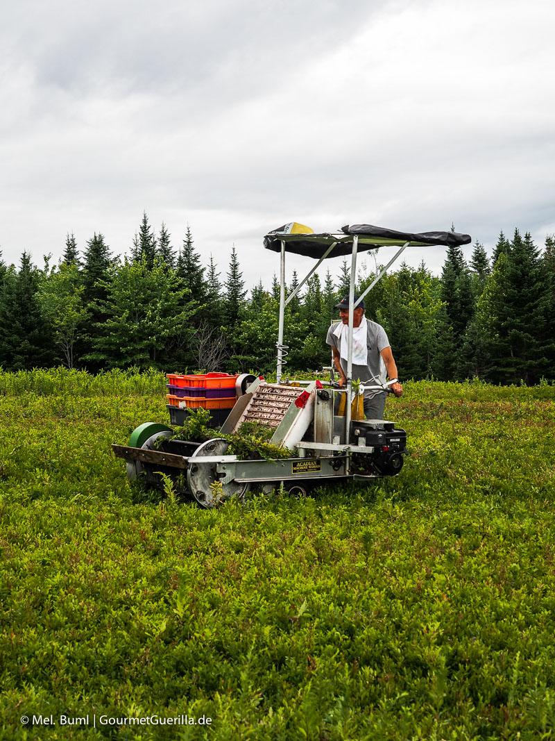 Kanada Nova Scotia Wilde Blaubeeren ernten mitten im Nirgendwo |GourmetGuerilla.de