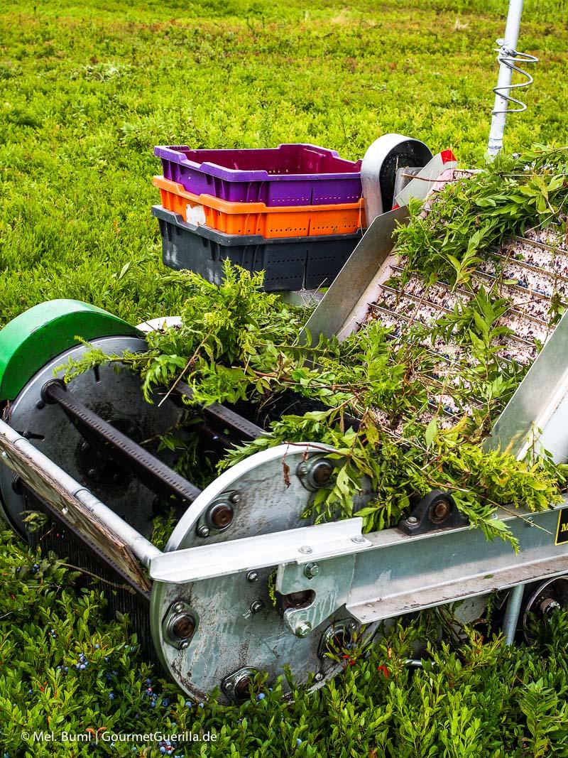 Kanada Nova Scotia Ernte vin Wilden Blaubeeren mit Muskelkraft |GourmetGuerilla.de
