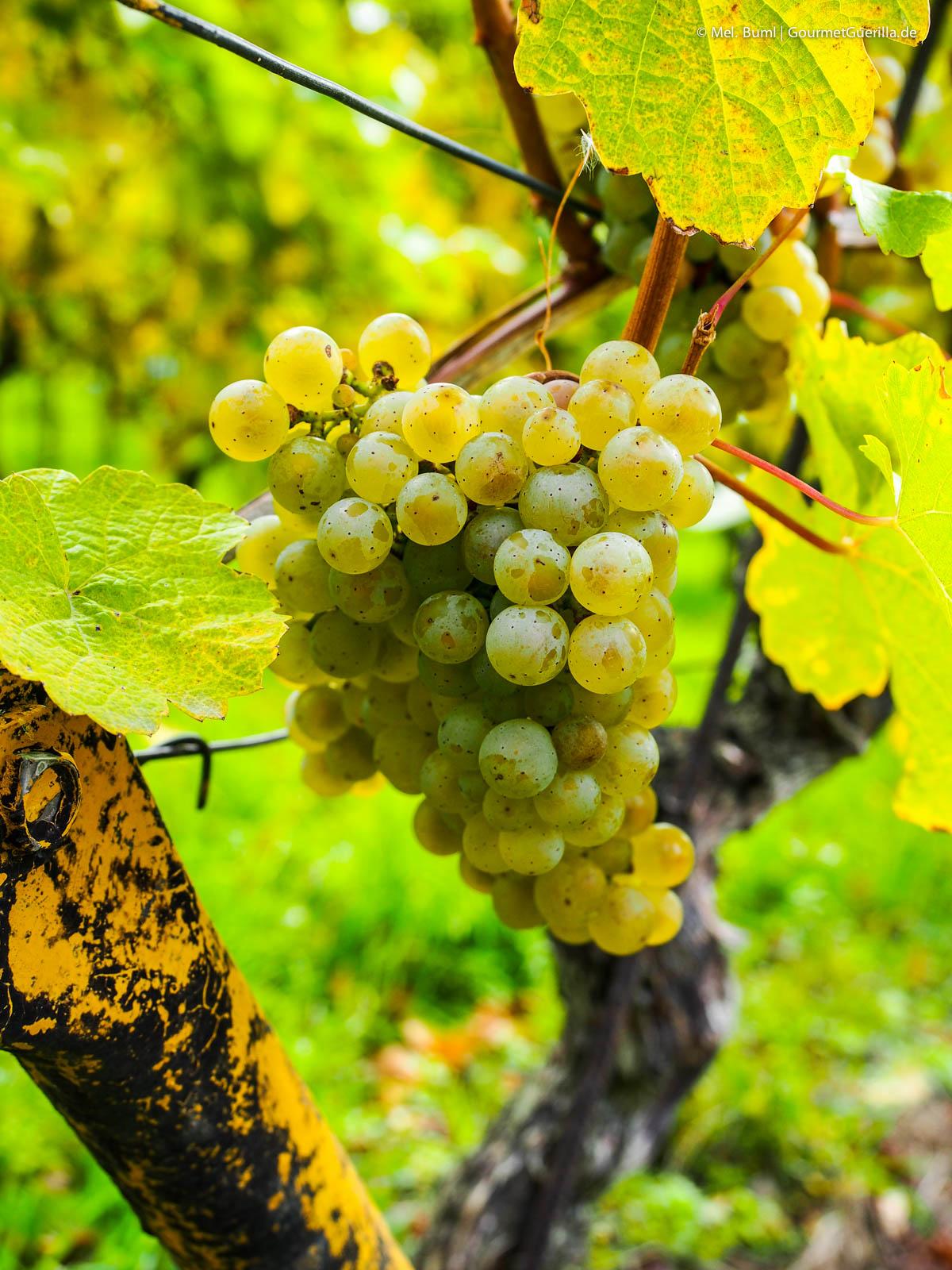 Weinprobe Weinwandern Weingut Mariaberg Anja Fritz Sächsische Weinstraße |GourmetGuerilla.de