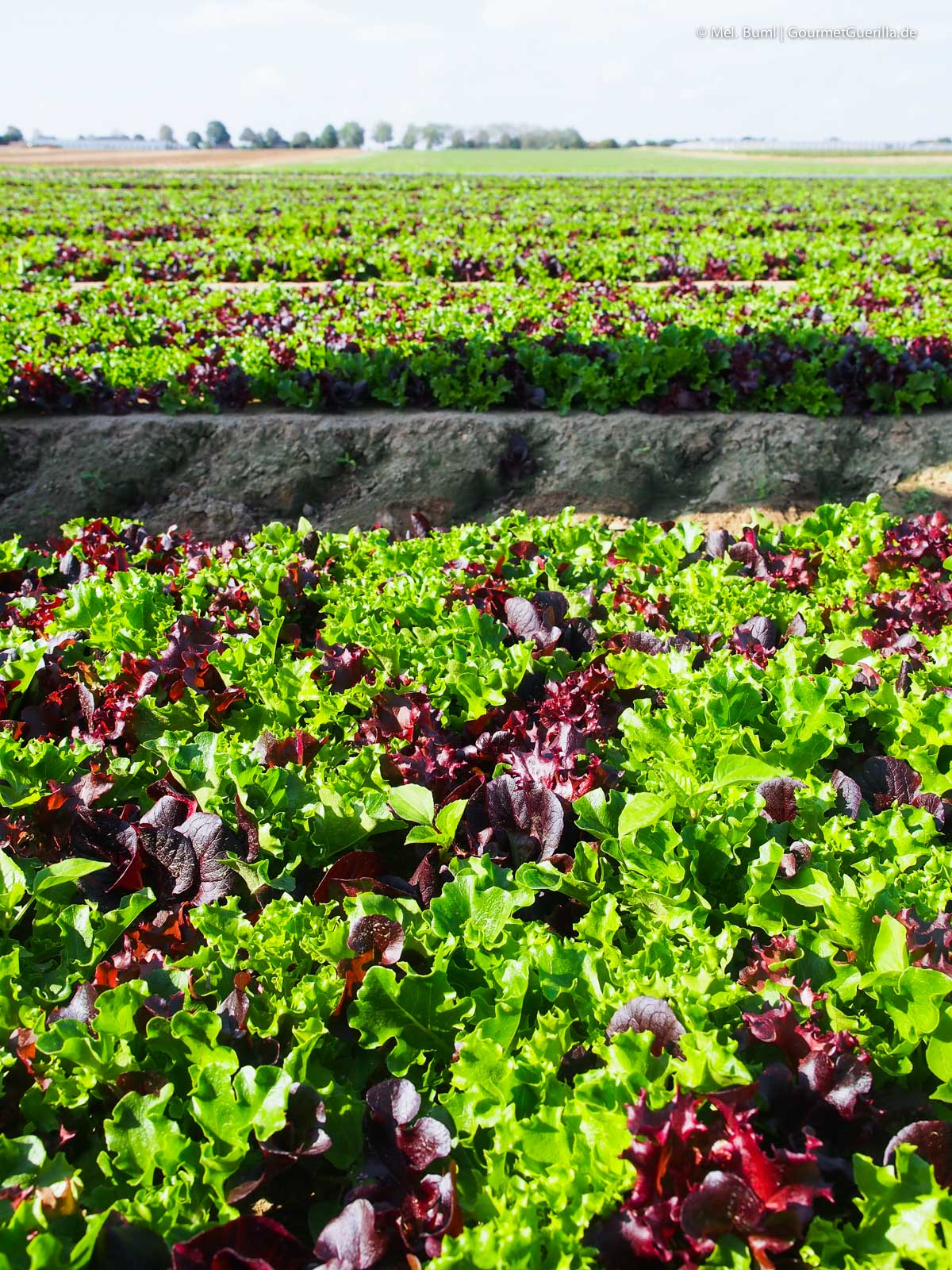 Salatmischung auf dem Feld Eisbergsalat auf dem Feld Bonduelle Academy Salat Anbau und Verarbeitung |GourmetGuerilla.de