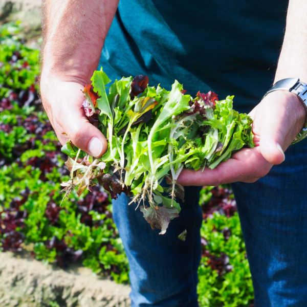 Salatmischung direkt vom Feld Salatmischung auf dem Feld Eisbergsalat auf dem Feld Bonduelle Academy Salat Anbau und Verarbeitung |GourmetGuerilla.de