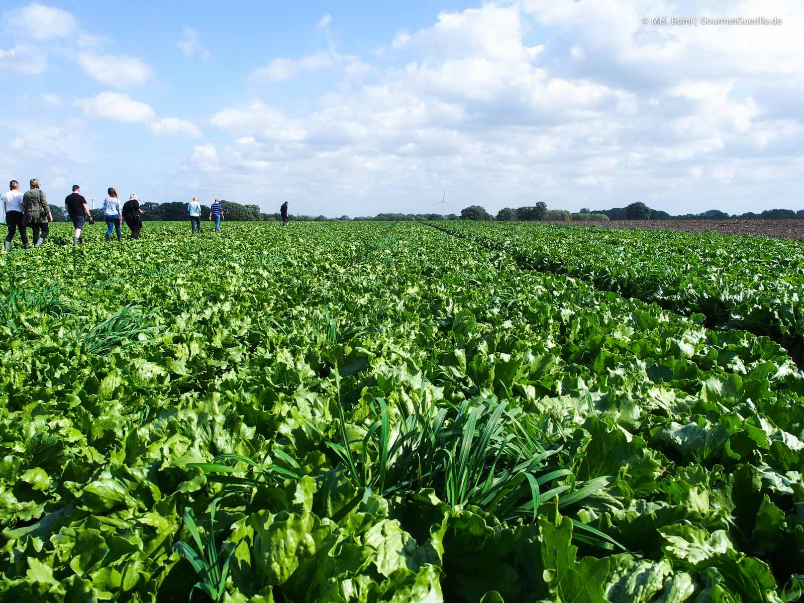Eisbergsalat auf dem Feld Bonduelle Academy Salat Anbau und Verarbeitung |GourmetGuerilla.de