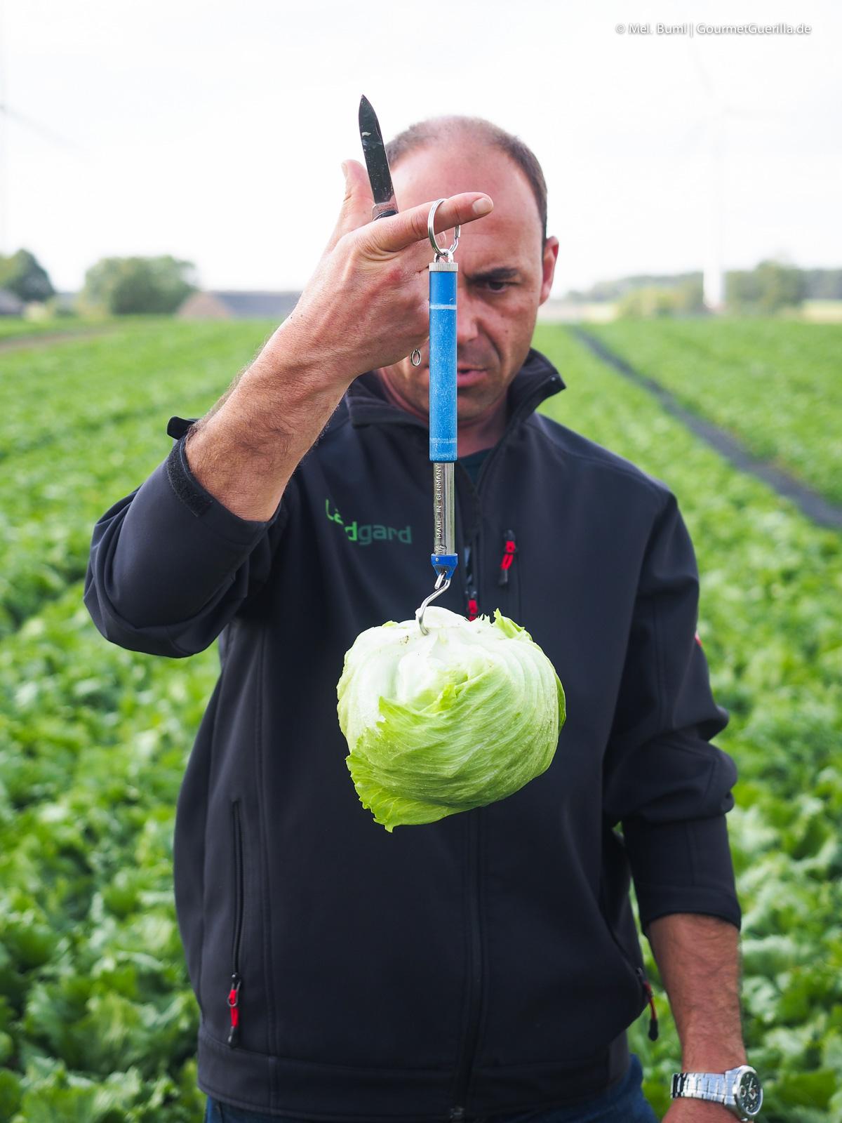Salatwaage Eisbergsalat auf dem Feld Bonduelle Academy Salat Anbau und Verarbeitung |GourmetGuerilla.de