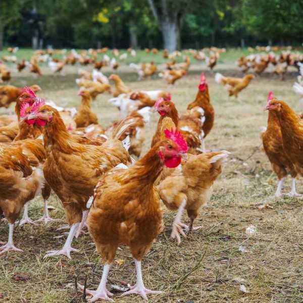 Hühner Label Rouge - ein Besuch bei unseren franzoesischen Nachbarn |GourmetGuerilla.de