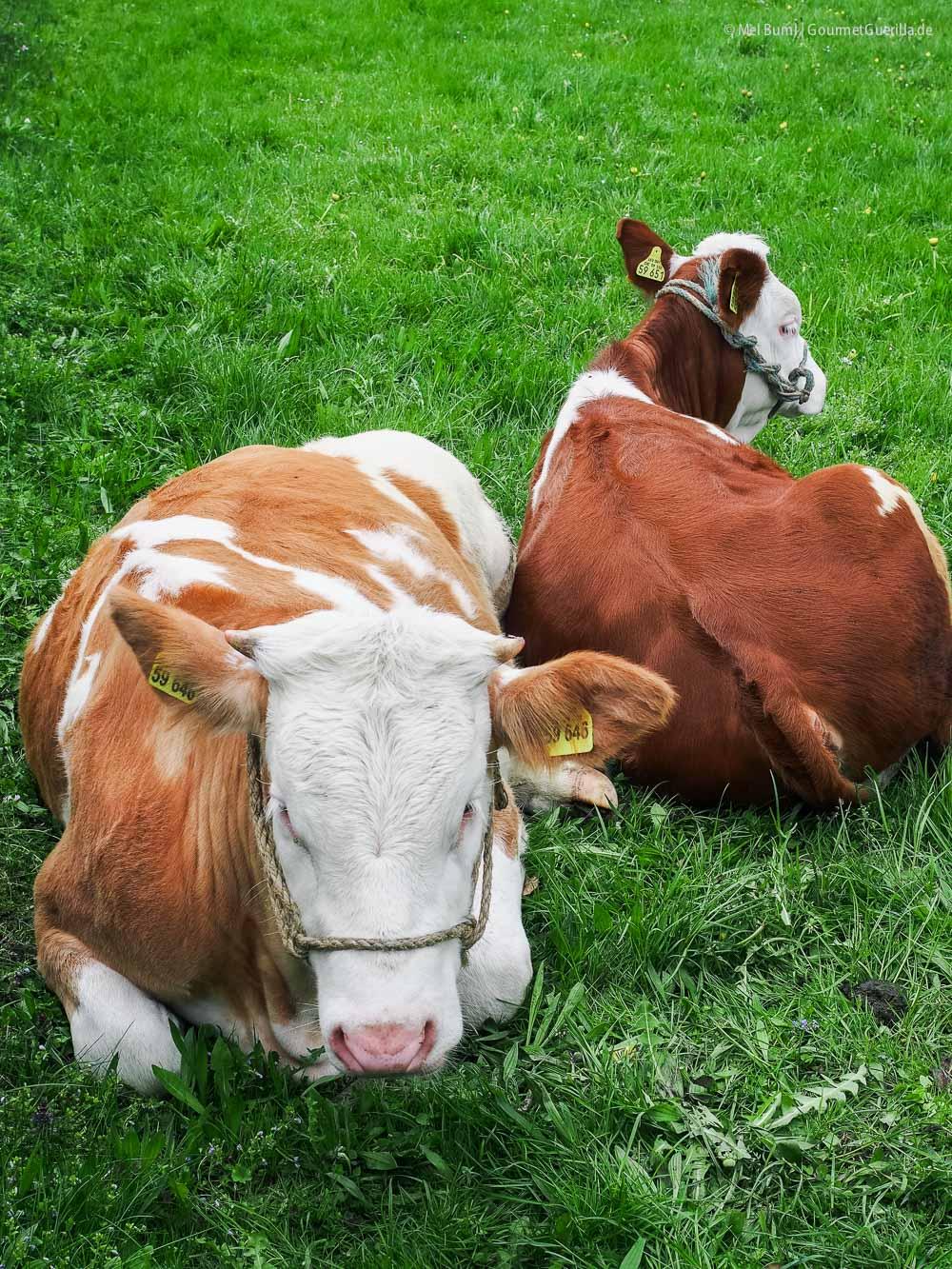 Kühe Tergernsee |GourmetGuerilla.de