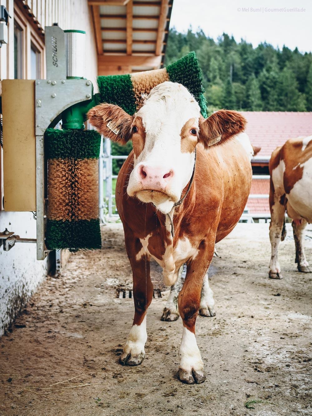 Massagebürste Laufstall Heumilchkühe Ahornhof Österreich Sennermeetsblogger | GourmetGuerilla.de